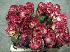#Rose #Rosa #Absurda; Availalbe at www.barendsen.nl