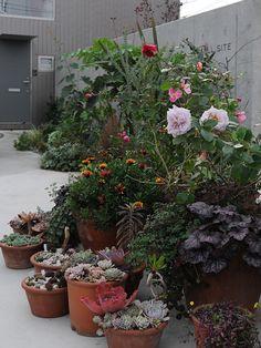 091129  ウチの庭は超~北向きで冬の日照がたいへん少ないため 冬越しの植物に少しでも多く日照を届けたいのと、 ボーダーガーデンの再編成等の冬作...