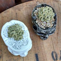 [Modelo vaso/cinzeiro com planta] . #iscool #skull #caveira #caveiras #coisasdecaveira #handmade #caveirismo #instaskull #curitibacool #curitiba #cwb  #curitibahandmade #comprasonline #decoração #decor #curitibadecor #arte #art #gesso #cranio #calavera #suculenta #succulent #cactus #succulovers #succulentlove #amosuculentas #decoraçãodeinteriores by iscool.cwb