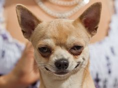 Extremely Smug Chihuahua