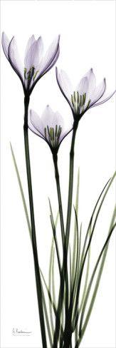 White Rain Lily in Lavender by Albert Koetsier