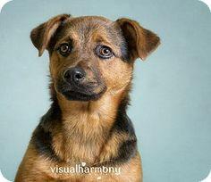 Chandler, AZ - Shepherd (Unknown Type)/Shar Pei Mix. Meet Lola a Dog for Adoption.