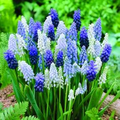 #Muscari Magic Carpet Mix  One of the first things to bloom each spring with a bonus of vibrant color.  Also known as grape hyacinth, this blend of beautiful blue & white shades will make a lasting impression in any spring garden or use for naturalizing under trees or shrubs.  Plant bulbs close together for best effect.  #flowers #fundraise #fundraising