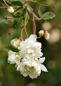 Buy rose (rambler) Rosa banksiae 'var. banksiae': Delivery by Crocus