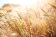 Free Image: Wheat Field in Sun Close Up | Download more on picjumbo.com!