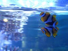 Finding Nemo #fish #animal #nature