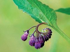 Comfrey - superfood for the garden