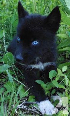 Dog | All Black Siberian Husky Puppy | Those eyes!