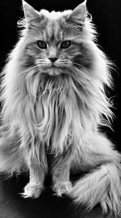 Maine Coon cat, This is one wild looking cat. I just can't stop looking at it.