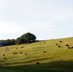 A peaceful feeling always comes over me whenever i see cattle or sheep grazing on a hillside : )