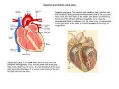 The Superior and Inferior vena cava. (Human Biology)