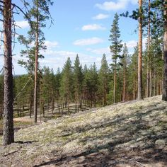 """86 tykkäystä, 2 kommenttia - Rokua Health & Spa Hotel (@rokuahealthspa) Instagramissa: """"Kumpuilevaa hiekkaharjua Rokualla #visitrokua #rokua #thisisfinland #visitfinland #oulunseutu…"""" Pine Forest, Finland, Mountains, Places, Nature, Travel, Life, Instagram, Health"""