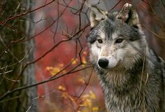 a wolf Beautiful Wolves, Animals Beautiful, Cute Animals, Totems, Der Steppenwolf, Le Husky, Tier Wolf, Wolf Stuff, Howl At The Moon
