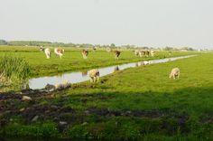 Schapen en koeien grazen op weilanden in het: Veenlandschap