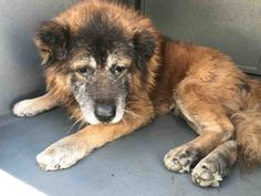 """2/19/18 A neglected senior dog is in need of the help of strangers – the 10-year-old dog, dubbed Lionheart, is being held at the Carson Animal Services facility in Gardena, California. According to the volunteer-run Facebook page, Saving Carson Shelter Dogs, Lionheart is """"hidden"""" in quarantine. On February 9, volunteers for the Facebook page wrote: A5149747 …"""