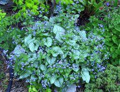 Brunnera 'Jack Frost' Blue Garden, Shade Garden, Garden Plants, Part Sun Perennials, Blue Flowers, Wild Flowers, Backyard Shade, Flower Names, Family Garden