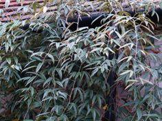 Rubus henryi var. bambusarum (Sierbraam)