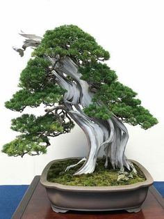 Bonsai Garden, Bonsai Art, Bonsai Trees, Juniper Bonsai, Driftwood, Nature, Bloom, Landscape, Pots