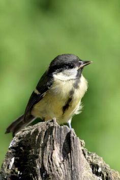Parus major Parus Major, Great Tit, Chickadees, Pretty Birds, Bird Feathers, Ireland, Animals, Animals Beautiful, Birds