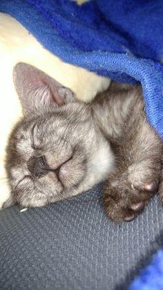 I just looked down and had to capture Olivia. #kittenwatch #Cassie #cutekitten #egyptianmausoftwitter #egyptianmausofinstagram #egyptianmausoffacebook #catsoftwitter #catsofinstagram #catsoffacebook #catsofscope #cutekitten #petsoriginal #forellen #bestmeow #Excellent_Kittens #Cutepetclub