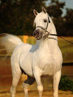 Ansata Nile Echo (Ansata Hejazi x Ansata White Nile) 1996 stallion