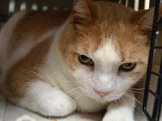 CHARLIE A1117390 WAS LEFT AT THE SHELTER WITH 3 HOUSEMATES WHO MAY BE HIS SIBLINGS – ALL ARE THE SAME AGE.  Super Urgent Shelter Cats  These animals are either high risk, injured or have previously appeared on the To Be Destroyed list and survived. They are in danger of being on the list again or destroyed without any further notice.