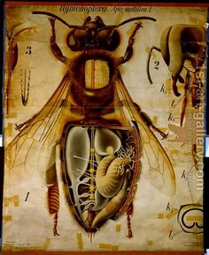 Anatomy-Of-The-Honey-Bee,-No.13,-Pfurtschellers-Zoological-Wall-Chart.jpg
