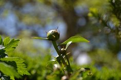 Peony buds. Alison Buck Floral Design.