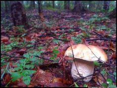 mushrooms - grzyby - borowiki  #grzyby #grzybobranie #borowik #szlachetny #boletus #borowiki #prawdziwki #na-grzyby #kosz-grzybów #las #dary-lasu #forest #natura #przyroda #Polska #Poland #grzyby-jadalne #polskie-grzyby #grzybiarz #Adam #Matuszyk #małopolska #Beskidy #mushrooms