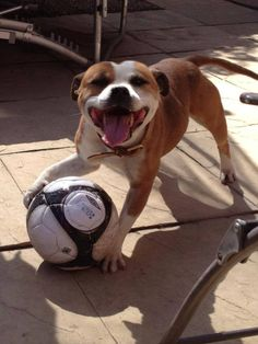 Diesel, English Staffordshire Bull Terrier. Ah! I'm dying. I love how they smile