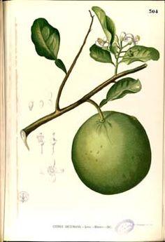 Citrus aurantium L.  Blanco, M., Flora de Filipinas, t. 304 (1875) [xxx]