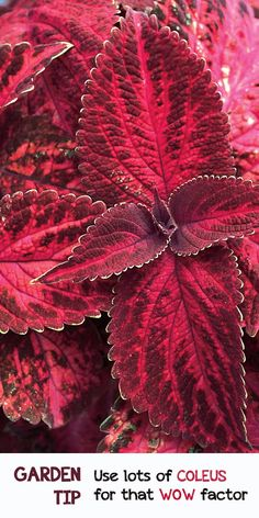 Everyone always asks, what's that beautiful plant? Coleus! It comes in so many bold, brazen, fabulous colors. Win $250 in flowers to make your garden pop with the Proven Winners Dream Garden Sweepstakes #ad