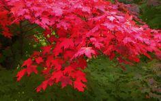Autumn Red by Kathleen Mendel