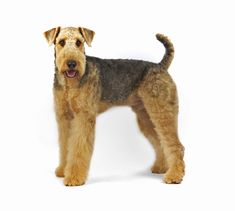 Airedale Terrier dog breed information | Noahs Dogs