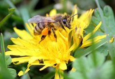 Una abeja recolectando polen cerca de Jankow Przygodzki, Polonia (Tomasz Wojtasik, 2017)