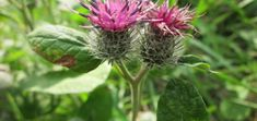 brusture Plant