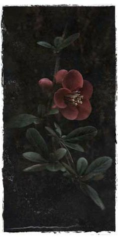 "Flowers In Neutral Moment-2 ""Japanese Quince"" Archival pigment print Photo by Soichi Oshika"