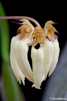 Bulbophyllum Orchidaceae | Orchids > Bulbophyllum - สกุลสิงโต > Bulbophyllum ...