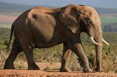African Elephant Facts and Information. African elephants are the largest land mammal still extant. Information about African Elephants. African Elephant Facts, African Forest Elephant, Asian Elephant, Elephant Love, African Animals, Baby Elephants, White Elephant, Majestic Animals, Animals Beautiful