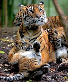 Alert tigress watching over three frisky cubs.