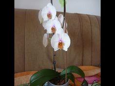 Орхидея фаленопсис белая, зацвела снова!