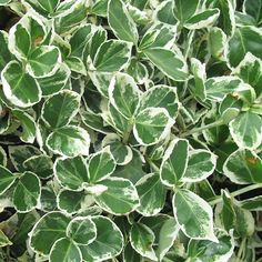 Euonymus fortunei 'Emerald Gaiety' 3L: Euonymus fortunei 'Emerald Gaiety' 3L. . A compact evergreen with a white margin becoming pink tinged in cold w