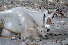 Endangered Arabian Oryx Born at Zoo Miami