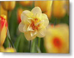 Double Hybrid Yellow Narcissus Tahiti Metal Print by Jenny Rainbow. All metal prints are professionally printed, packaged, and shipped within 3 - 4 business days and delivered ready-to-hang on your wall. Choose from multiple sizes and mounting options. Fine Art Prints, Framed Prints, Beautiful Flowers Garden, Got Print, Any Images, Tahiti, Botanical Gardens, Spring Flowers, Fine Art Photography
