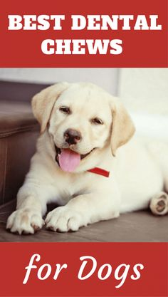 Discover the best dental chews for dogs in our latest roundup containing buying advice, safety tips and a few choice recommended selections. #doggo #LabradorRetriever #DogHealth