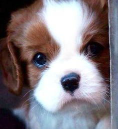 Adorable Blenheim Cavalier puppy