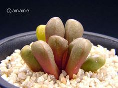 Psammophora nissenii ニセニー