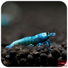 Blue Bolt Shrimp Aquascaping, Shrimp Tank, Prawn Shrimp, Aquarium Setup, Home Aquarium, Freshwater Aquarium Shrimp, Freshwater Fish, Tropical Fish Aquarium, Planted Aquarium