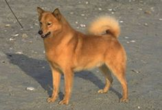 Finnish Spitz  A lively, friendly dog, the Finnish Spitz enjoys being active and spending time with his family. He is good-natured and enjoys children, although may be initially cautious with strangers. The breed requires moderate exercise and his thick double coat sheds and will need regular brushing and bathing.