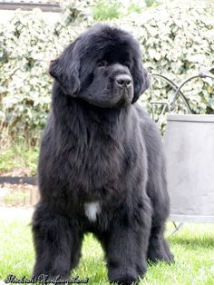 ♡ Ch. Thickish Newfoundland Wings of the Wind ♡ aka Wing jr. ♡19 months